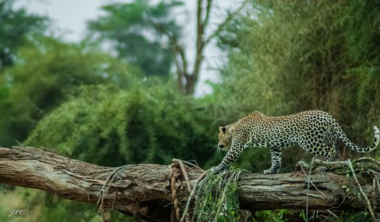A leopard balancing on a log in Kenya