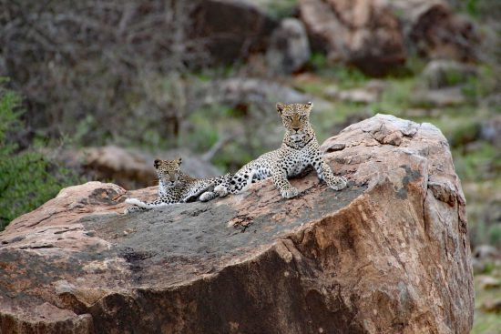 Mother leopard looking out for her cubs