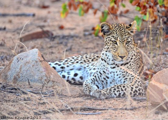 A close up of a leopard lying down