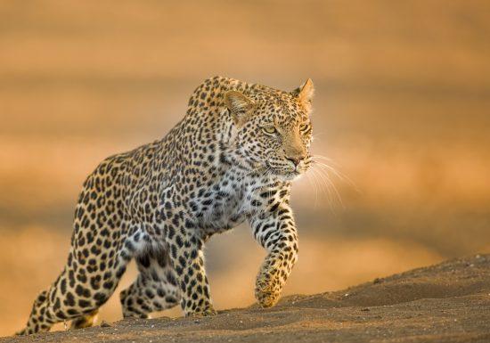 A leopard walking in desert sands