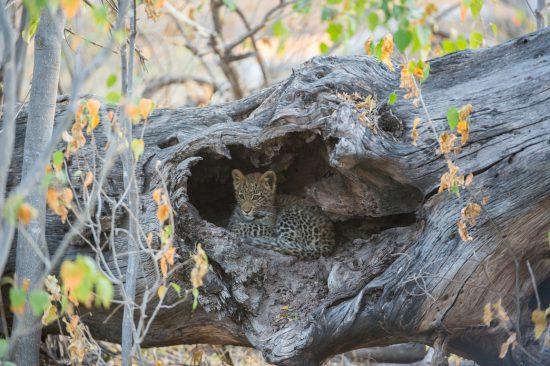 Leopard cub hiding in a log