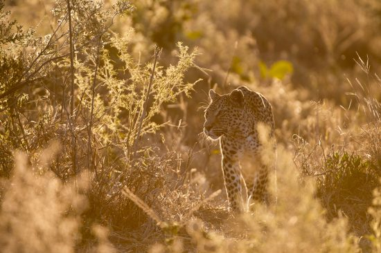 A leopard stalking while the sun sets