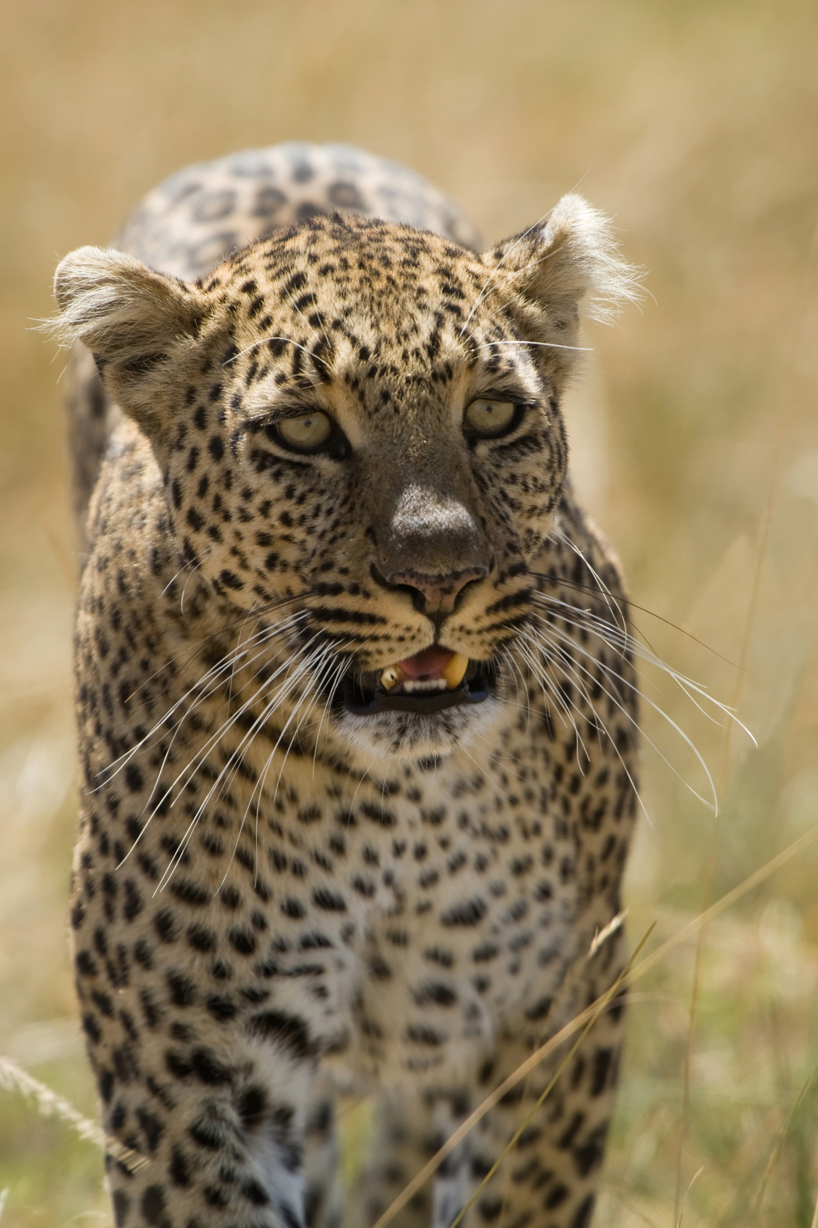 A close up of a leopard and its teeth