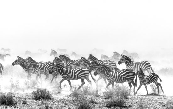 Zebra running in dust