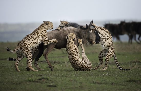 Cheetah killing a wildebeest together