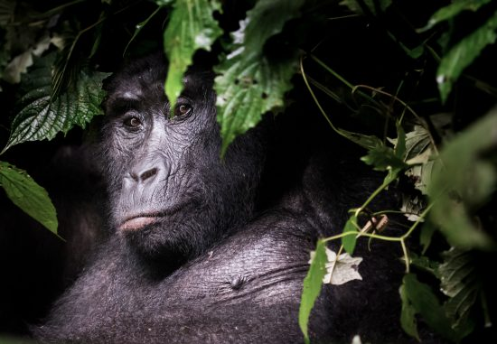 A close up of a gorilla behind lush leaves