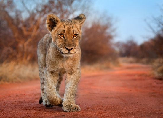 A lion cub walking on a road in South Africa