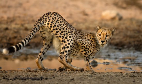 A cheetah at a waterhole in the Kalahari