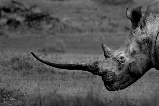 A closeup of a long rhino and its horn