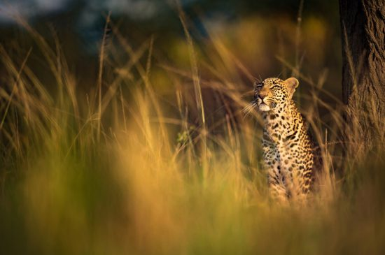 A leopard sitting in the grass during sunrise