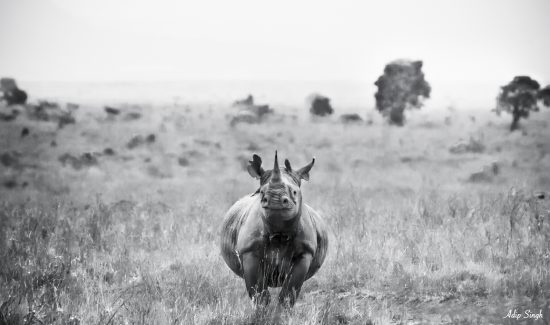 A rhino in black and white looking at the camera