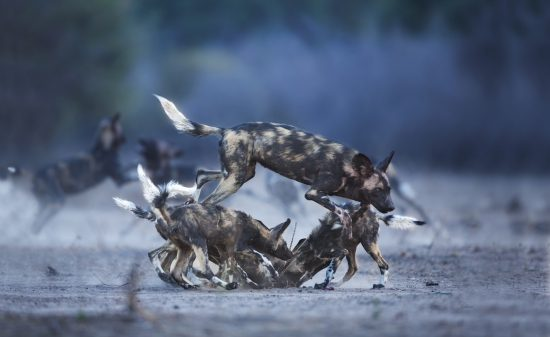 A pack of African wild dogs play before sunrise