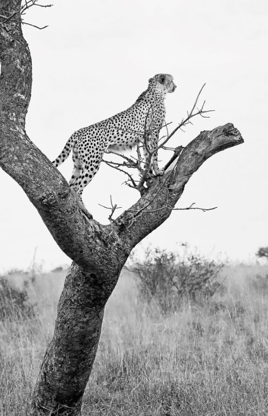 A cheetah in a tree scouting for food.