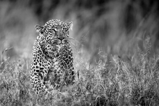 A closeup of a leopard with distinctive spots