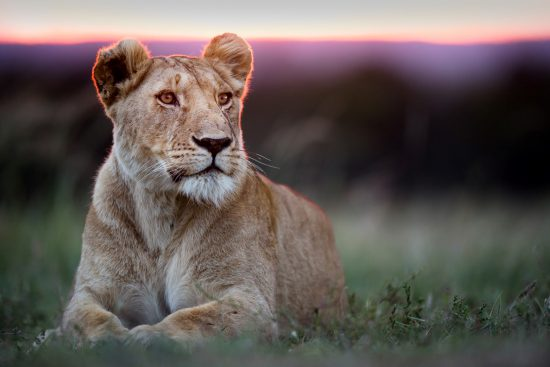 Lioness in the evening light