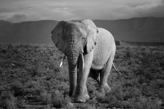An elephant in black and white