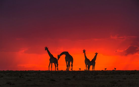 Sunset as a backdrop to the giraffe family