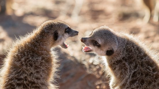 Meerkats playing together.
