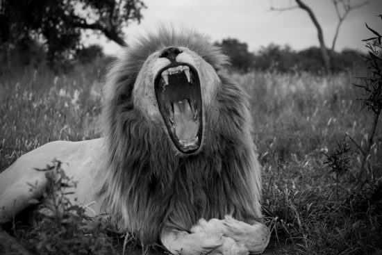 A lion roaring or yawning in black and white