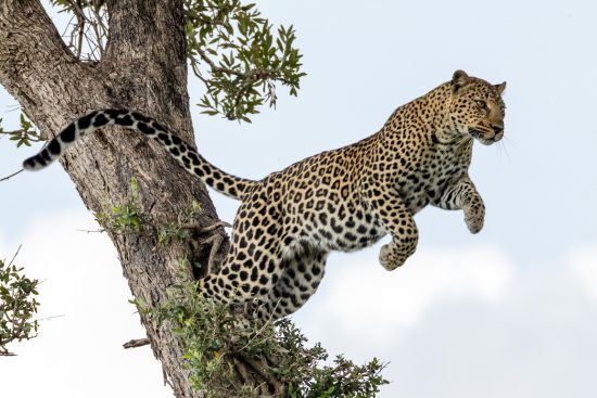 A leopard jumping from one tree to another