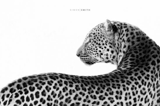 A closeup of a leopard's curves in black and white