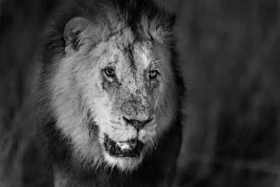 A lion with a scarred face in black and white