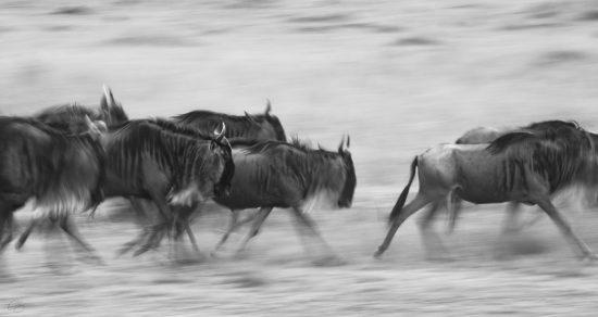 Wildebeest running in a blur in black and white