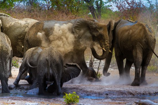 Elephants lifting dust in Etosha