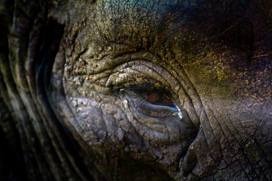 A closeup of an elephant eye