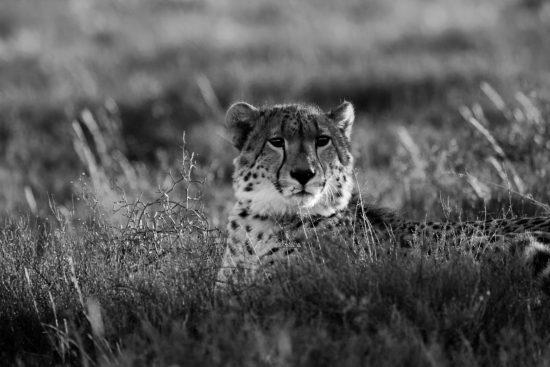 Cheetah in Samara Game Reserve in the Eastern Cape of South Africa