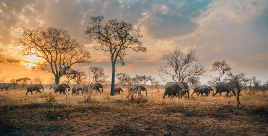 Elephant herd walking together at sunset in the Sabi Sands.