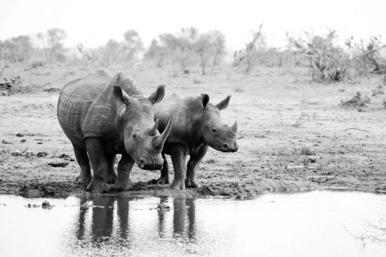 Female rhino with baby rhino making a stop for drinking Sabi Sand