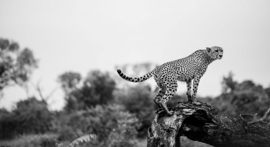 Cheetah in the early morning light Sabi Sand. From his observation post he observed his territory.