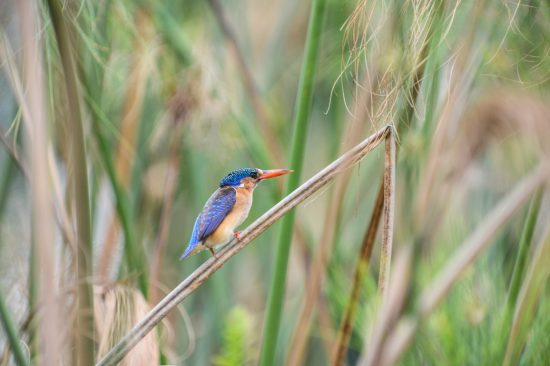 A malachite kingfisher in the reeds in the Okavango Delta