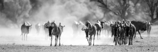 Wildebeest searching for water in the Kgalagadi Transfrontier National Park, South Africa.