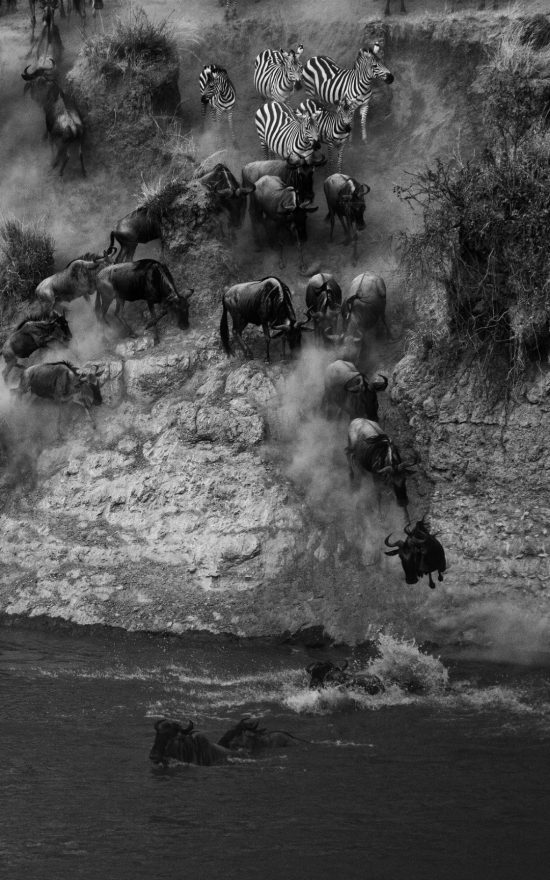 Wildebeest making a crossing at the Great Migration.