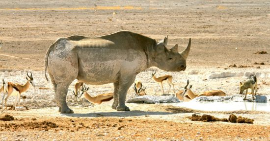 Rhino, springbok and black-backed jackal in Etosha