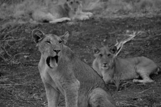 Lion cub yawning in black and white