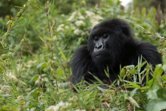 A gorilla sitting in green bamboo leaves