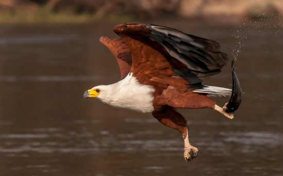 A fish eagle ctahcing a fish in the Okavango Delta