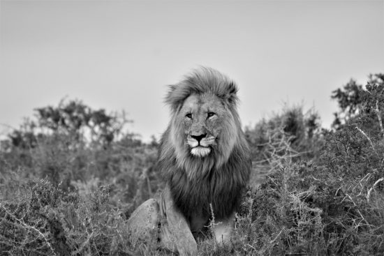 A male lion in black and white at Shamwari