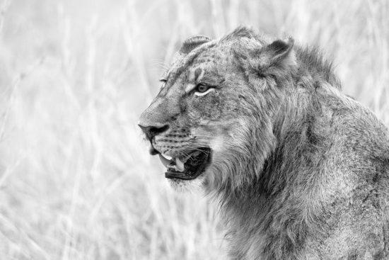 Young male lion taken at Kruger National Park.