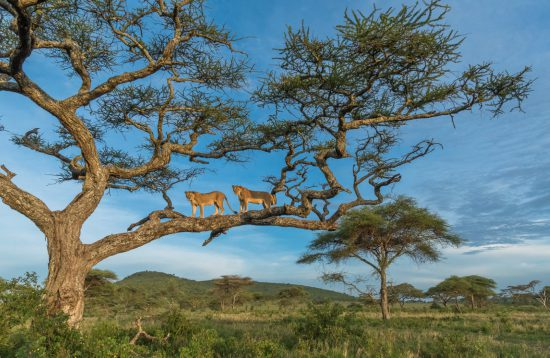A pair of lionesses survey the savannah in the serengeti from atop their post on an acacia tree.