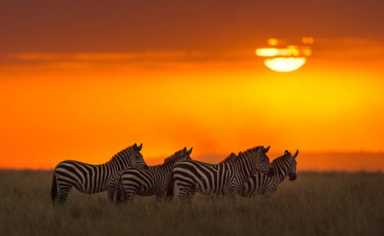 A small herd of zebras against the light of the setting sun in the Maasai Mara.
