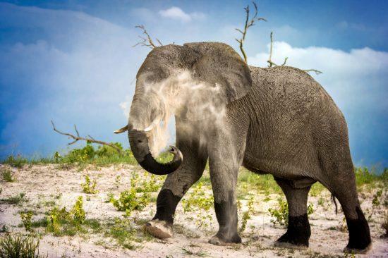 Elephant dust bath in Chobe.