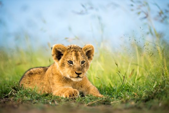 A lion cub lying in the grass