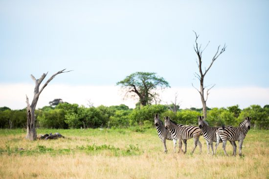Herd of Zebra standing with green shrubbery as a backdrop