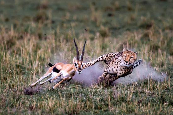 Cheetah chasing an antelope