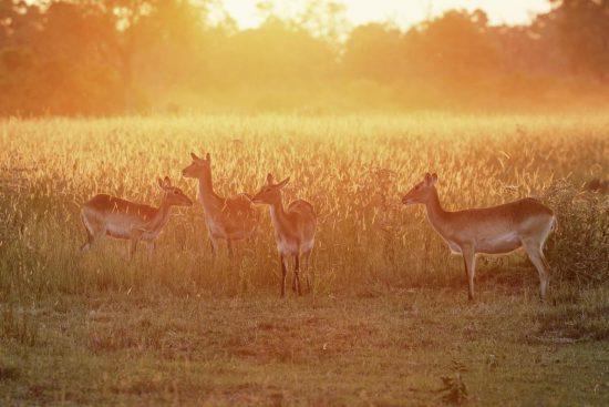 Lechwe antelopes at sunset, Okavango Delta