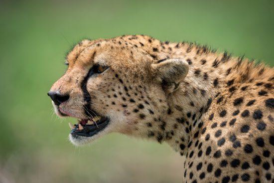 Close up of cheetah head in lush grass